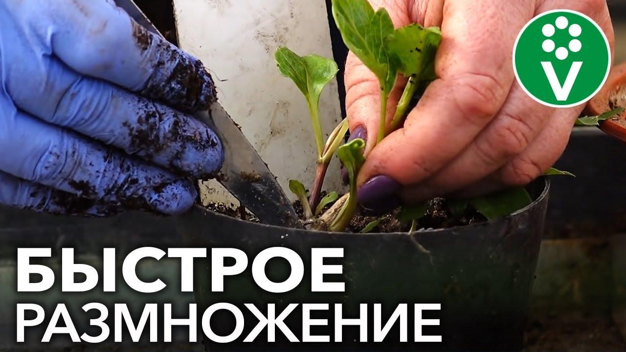 КАК ОЖИВИТЬ ГЕОРГИНЫ? Проращивание и черенкование георгинов