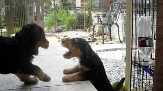 Airedale Terrier Puppies!!
