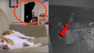 Самые страшные видо, когда домашние животные что то видят или видят  призраков. 11 снятых на видео моментов с животными, которые видят  приведения. Видят ли ваши питомцы что то подобное? это 11 видео, которые  вас напугают. Замечали