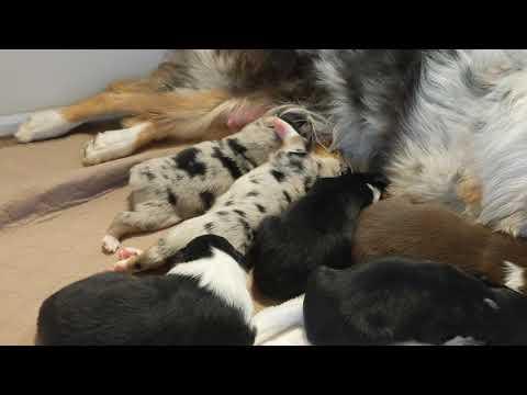High Desert Aussies Pandora and Odie's puppies