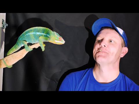 Chameleoní jazyk ve zpomaleném záběru