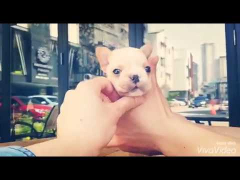 Smallest French bulldog in the world - смотреть онлайн на
