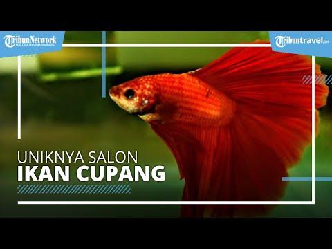 Tag Bisnis Ikan Cupang Hias Uniknya Salon Ikan Cupang Hias Di Kota Malang Bisa Jadi Bisnis Menggiurkan Saat Pandemi Tribunnews Com Mobile