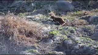 Djuma: Dwarf Mongoose getting dive-bombed by Blacksmith Lapwings - 07:54 - 09/11/20