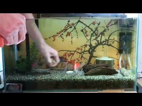 【金魚コメット】金魚水槽のお掃除やるよ♪