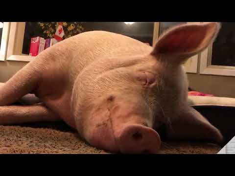 Who is Esther the Wonder Pig?