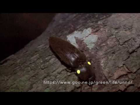 ヒカリコメツキ Pyrophorus sp.