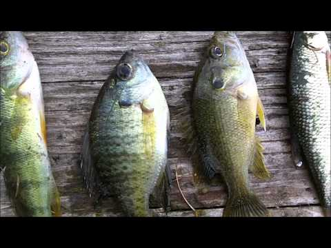 FISHING VIDEO TIPS: Wisconsin Pond Fish Guide – A few fish we caught in a small pond.