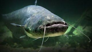 Ловля сомов в астрахани ружьем подводным