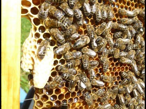 ПРОТИВОРОЕВОЙ  ПРИЕМ -РОКИРОВКА -роение пчел с пользой.