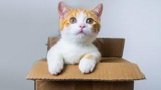 【花花与三猫】领养短腿小橘猫开箱,腿只有手指长,吃的却比大猫还多!