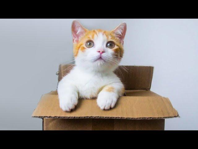 網購短腿小橘貓開箱,腿只有手指長,吃的卻比大貓還多!