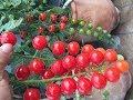 زراعة الاسطح 15 ( الجني السادس ) sixième récolte