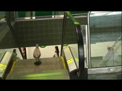 Confused Bird Goes Wrong Way Down an Escalator