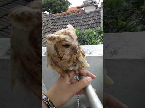Video Melatih celepuk agar jinak (Javan Scops Owl)