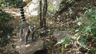 preview picture of video 'Ring-tailed lemur conservation at Madagascar's community-run Anja Reserve'