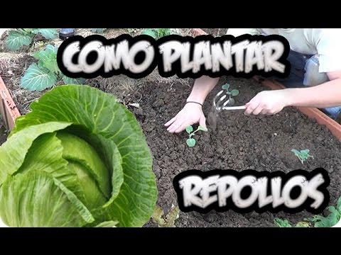 Como Plantar Repollos    Huerto Organico    La Huertina De Toni
