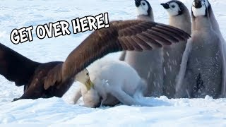 Ozzy Man Reviews: Baby Penguins vs Bird