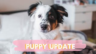 MINI AUSSIE 6 MONTH PUPPY UPDATE | tricks, potty training and more!