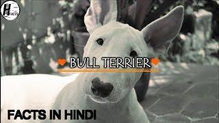 Bull Terrier Dog Facts   Hindi   Dog Facts   HINGLISH FACTS
