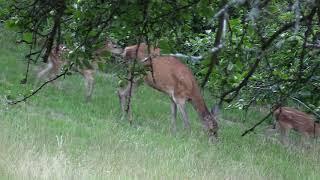 Les cerfs… la petite harde