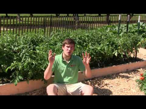 , title : '2 Simple & Organic Methods to Prevent, Kill, & Combat Blight on Tomatoes