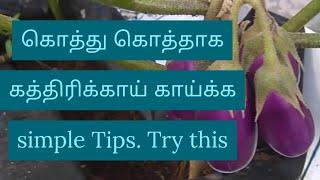 கத்திரிக்காய் செடியில் கொத்து கொத்தாக காய் காய்க்க Simple Tips