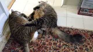 Fat Cat Fight