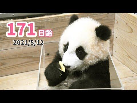 【パンダの赤ちゃん(楓浜)】おもちゃじゃなくて、食べている!(171日齢)