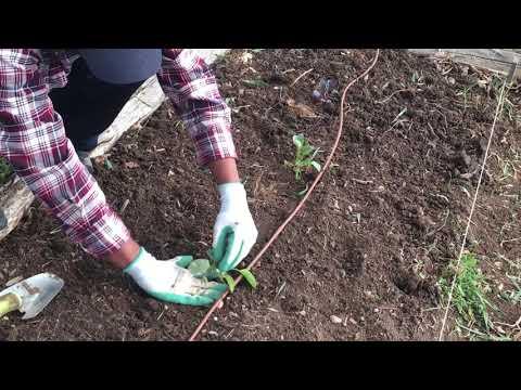 , title : 'Transplant Cabbage Seedlings