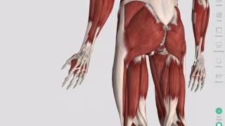 Skeletal Muscles | Complete Anatomy
