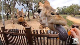 Virtual Giraffe Encounter at Taronga Western Plains Zoo