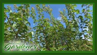 Cherry Tree Maintenance   Volunteer Gardener