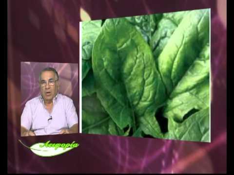 Πληροφορίες για την καλλιέργεια σπανακιού