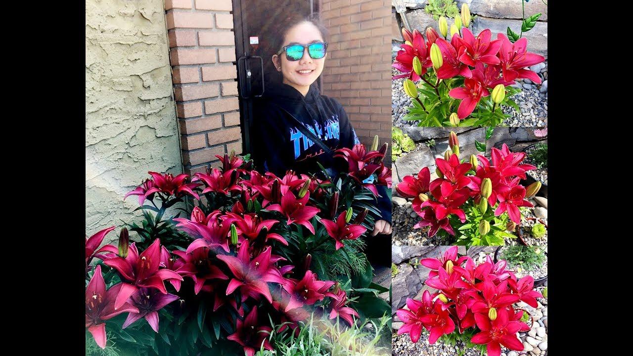 Garden Blooms: Asiatic Lilies @ Red Buzzer