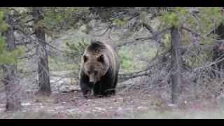 Wildlife Photography-Grizzly Bear vs Porcupine Quills-Jackson Hole/Grand Teton Park/Yellowstone Park