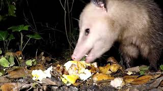 Possum eating armadillo eggs in my yard / Mississippi Wildlife