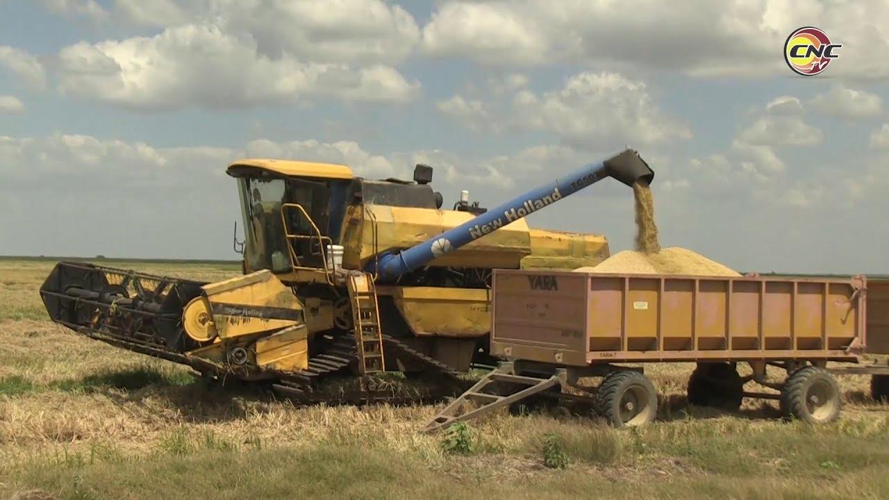 Bases productivas de Granma potencian producción de arroz