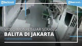 Viral Video Monyet Liar Serang Balita di Jakarta Barat, Korban Dapat 22 Jahitan di Kepala