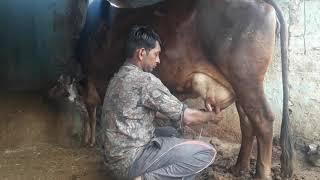 132) 100% Pure Sahiwal Cow (शुद्ध साहीवाल