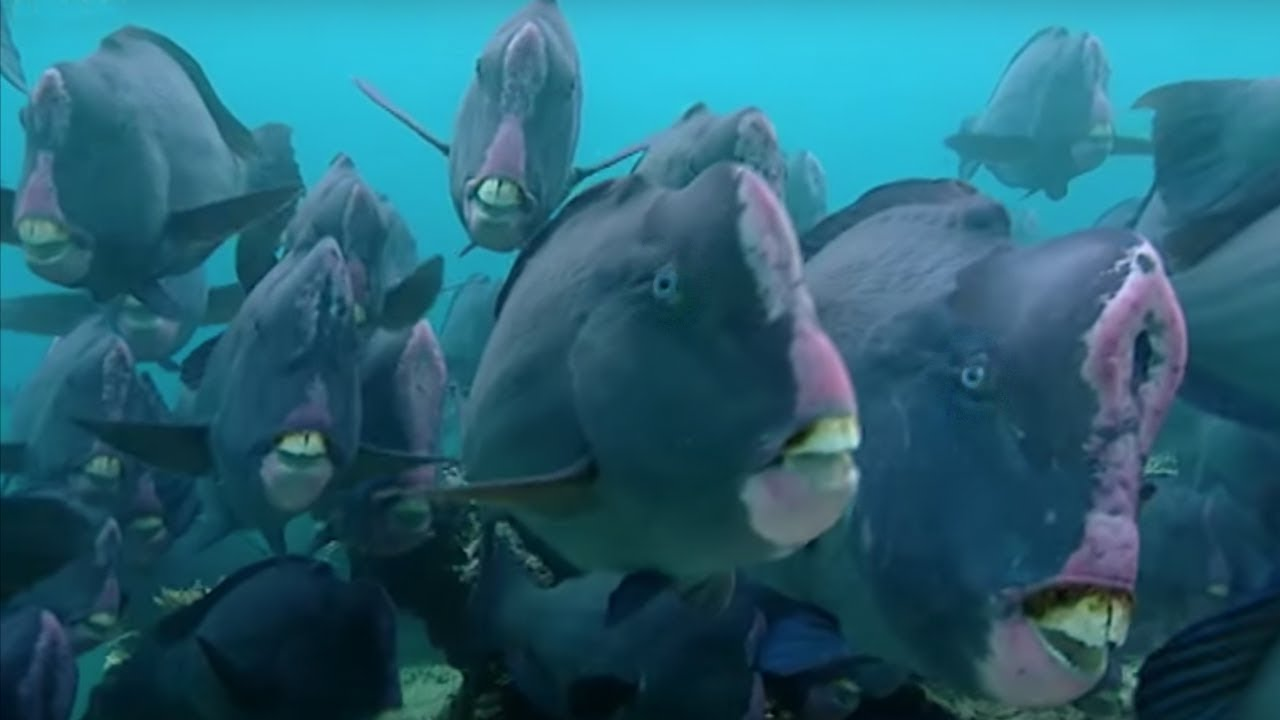 What Does a Humphead Parrotfish Eat? #01