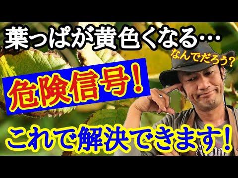 , title : '【あ~すっきりした!】園芸店長が植物の葉っぱが黄色くなる原因を教えます!解決方法も伝授 これさえ見れば植物たちは元気に育ちます。ガーデニング初心者でも絶対に分かります  japan garden