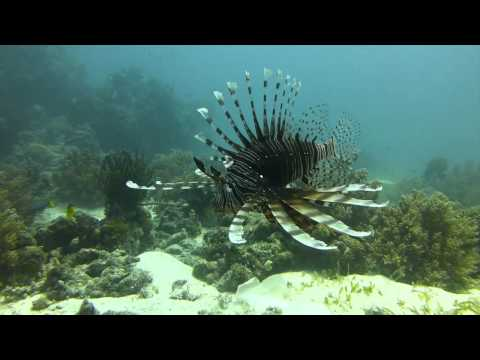 Broadbarred firefish in Philippines
