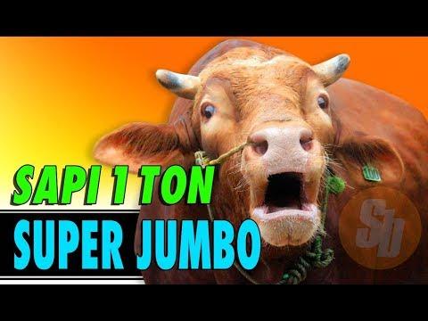 Jual Sapi Qurban Jakarta Jenis Sapi Limousin 2018 #SAPIBAGUS