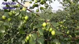 Apple Ber Plants 1st Year Fruiting In My Farm .Apple Ber Nursery .(Con./whatsapp No. 08514981670)