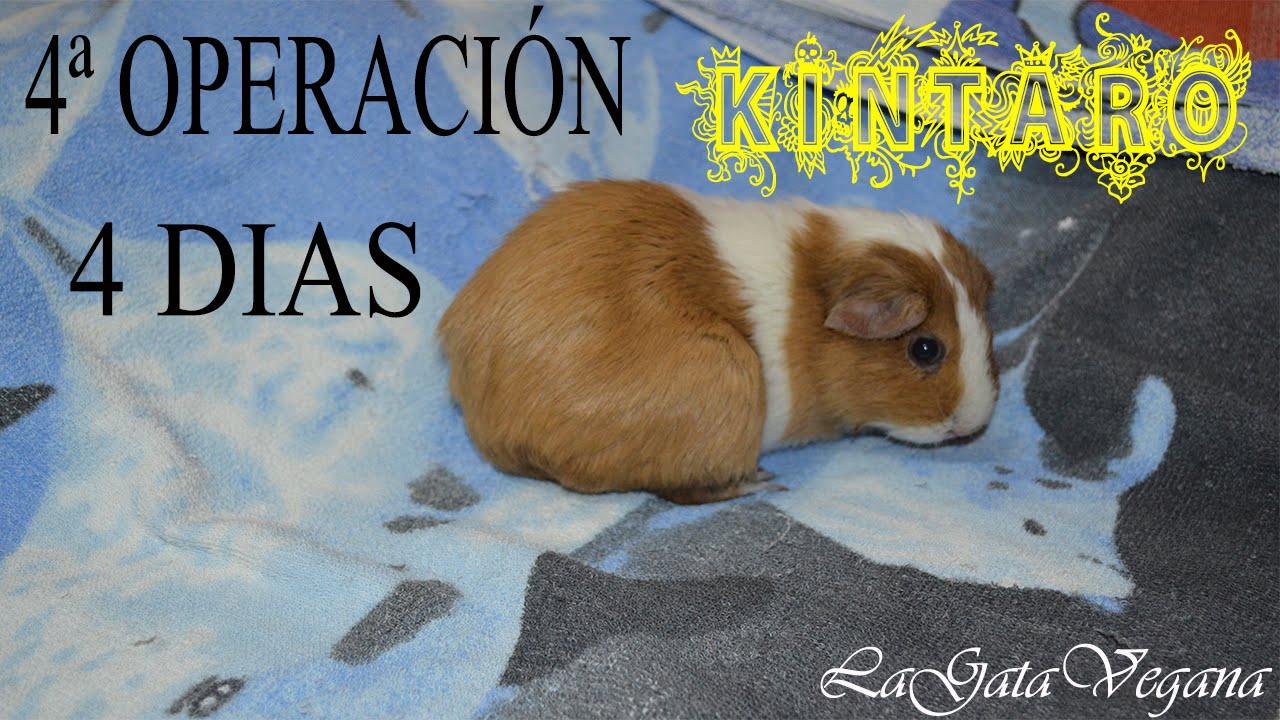 KINTARO 4 DÍAS DEL CUARTO LIMADO / COBAYA CON SOBRECRECIMIENTO DE LAS RAÍCES DENTALES