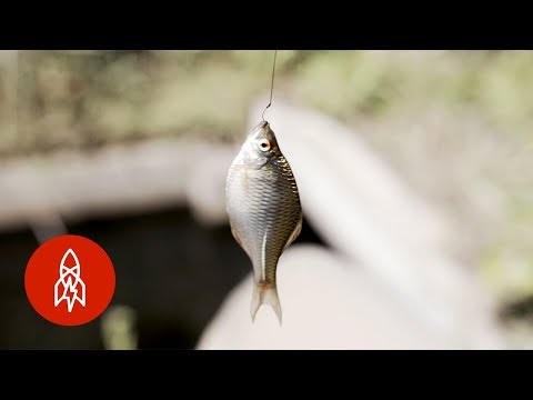 Why the Smallest Fish Wins in Japan