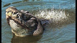Vibrating Alligators