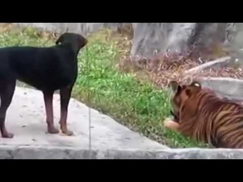 ROTTWEILER And TIGER