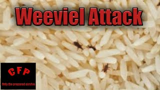 Weevil in your preps